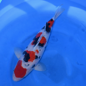 Champion nishikigoi for Japanese koi fish wholesale