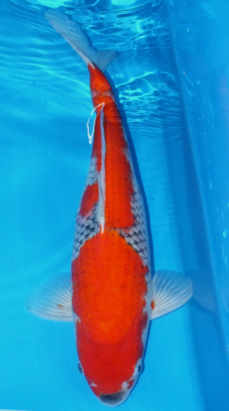 Koi for sale champion nishikigoi for Cheap koi carp for sale