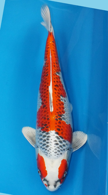 Koi for sale champion nishikigoi for Nishikigoi koi