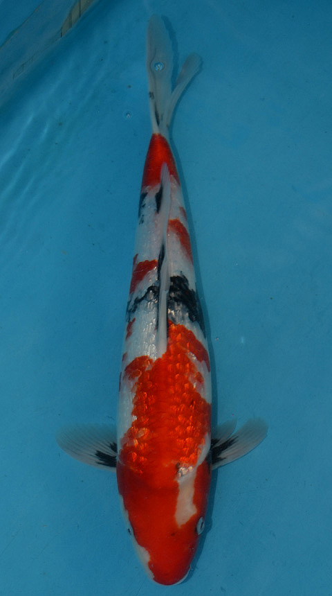 Koi for sale champion nishikigoi for Japanese koi breeders