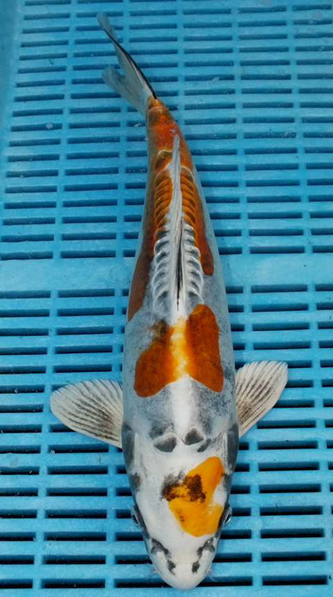 Koi For Sale Champion Nishikigoi