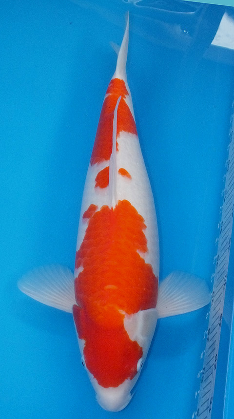 Koi for sale champion nishikigoi for Expensive koi fish for sale